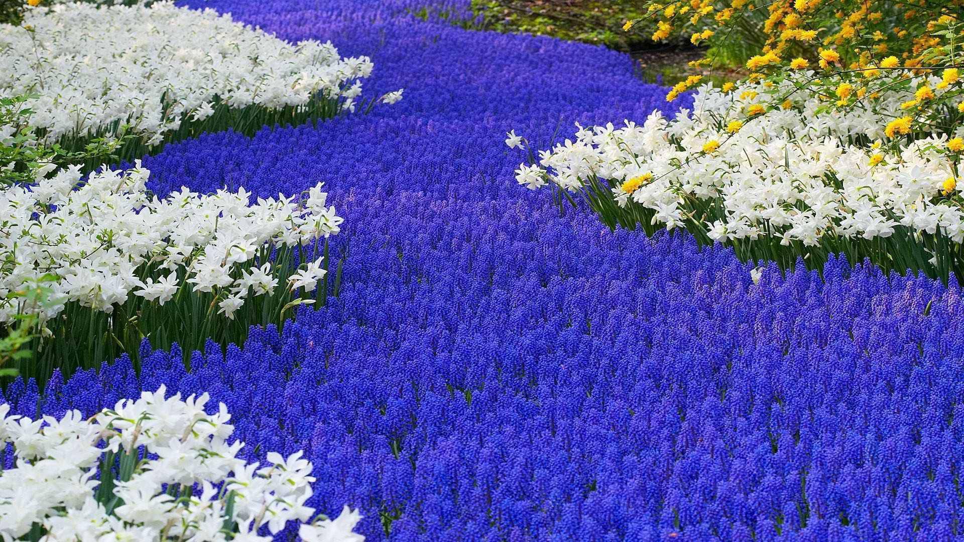 Fondos De Flores Wallpapers Hd Gratis: Fondos De Pantalla Wallpapers Gratis: Flores De Holanda