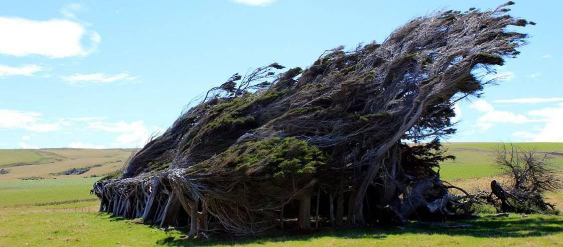 Drzewa uformowane przez wiatr 9