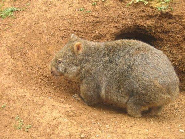Wombat tasmański 11