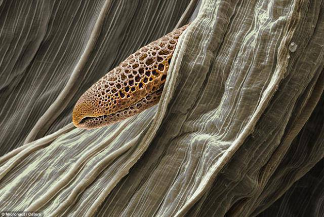 Pyłki roślin pod mikroskopem 12